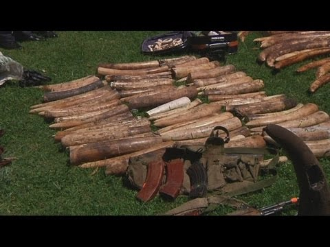 Record two tonnes of ivory seized in Kenya following elephant poaching