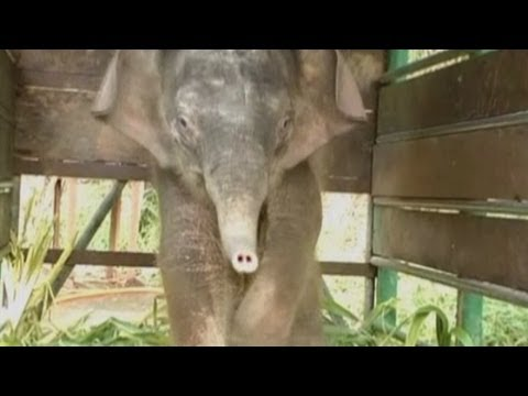 New pics released of orphaned pygmy elephant as authorities investigate
