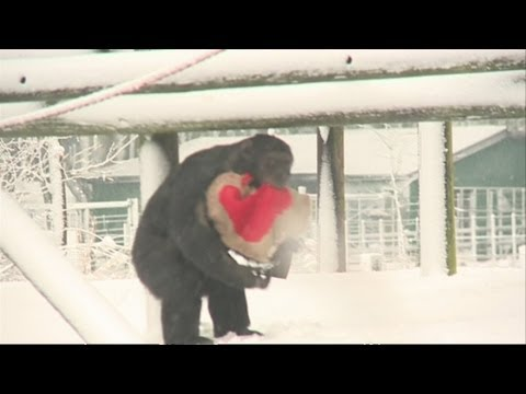 Chimps at Whipsnade Zoo get special Valentine's Day gifts