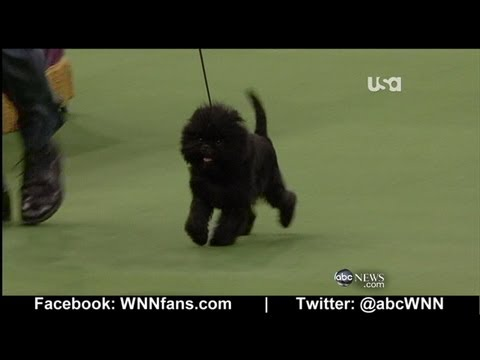 Banana Joe: Winner of Westminster Kennel Club Dog Show