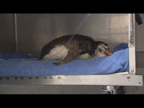 Royal penguin receives emergency treatment after washing up in New Zealand