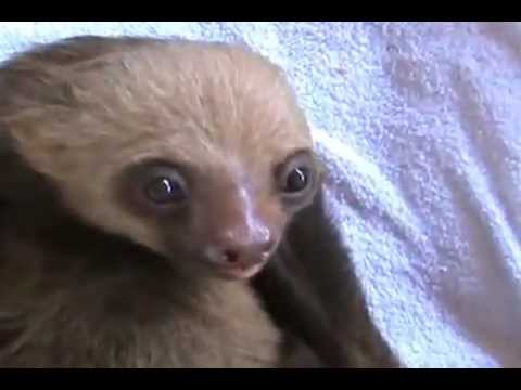 The Funniest Baby Sloth Video Ever!!!_TheBysavas