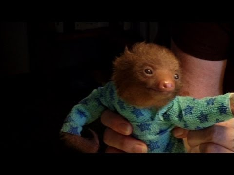 Tiny Baby Sloth gets the Onesie Treatment – 'Meet The Sloths' Animal Planet
