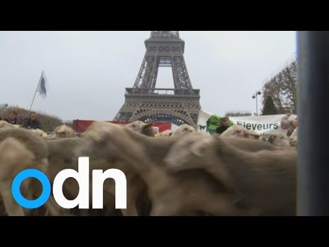Sheep flock to Eiffel Tower as French farmers cry wolf