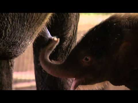 Three-day-old elephant unveiled at Berlin zoo