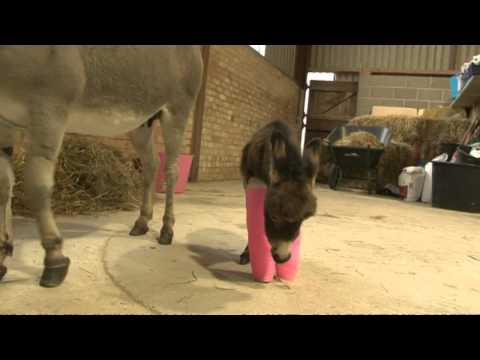Cute wonkey donkey has front legs set in cast