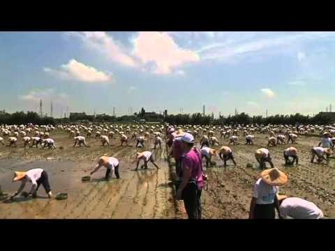 Rice farmers in Taiwan smash Guinness World Record