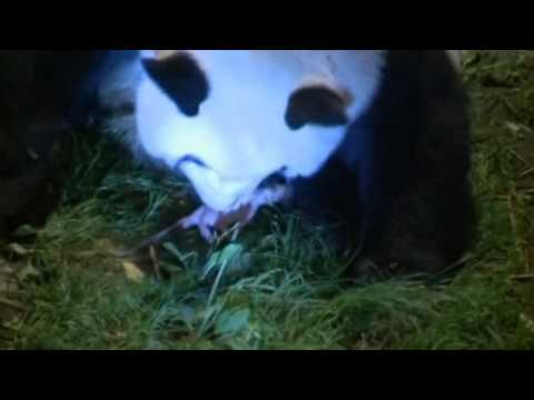 Baby pandas: Giant panda gives birth to twins in China