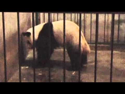 Tiny cub filmed being born at Chengdu Panda Base, China