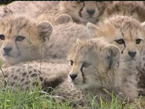 Cute cheetah cubs: Seven born at zoo
