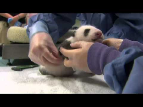 Baby panda cub gets health check in San Diego Zoo