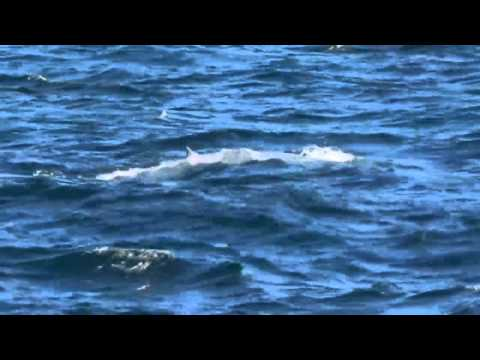 A rare blue whale's been spotted close to the coastline off Sydney in Australia