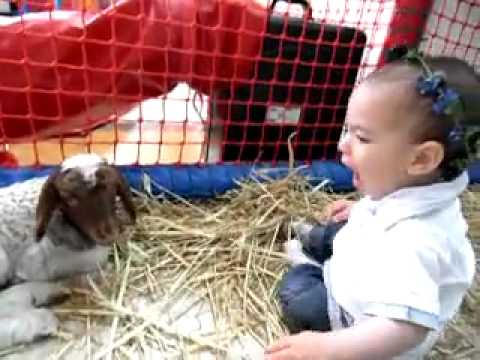 Goat Vs Baby Screaming Fight – EPIC CUTE