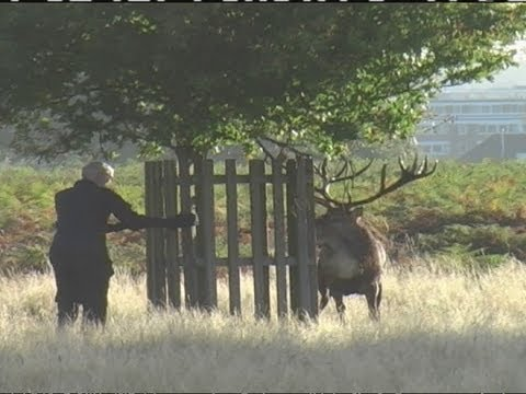 Testorone fuelled stag chases man in Bushy Park, London