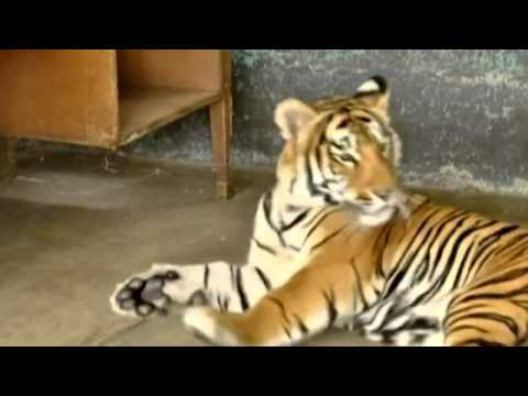 Bengal tiger Albert moves into Mexico dog pound