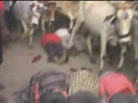 Men trampled by cows during Indian ritual