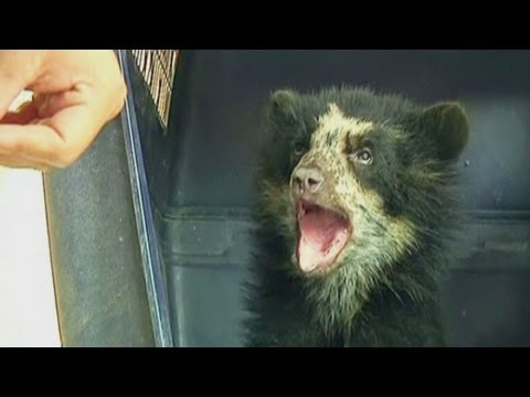 Juanita the endangered four-month-old bear cub rescued from poachers in Peru