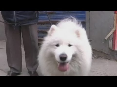 The amazing 'genius' Samoyed learns to do complex sums in his head