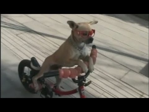 Amazing: Well-trained dog rides a bike
