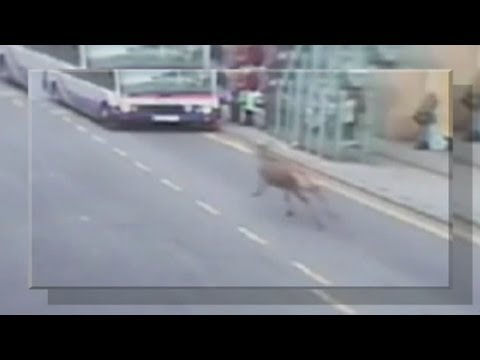 AMAZING VIDEO: Wild deer charges down Essex road, injures woman