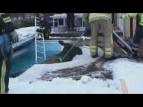 Elk rescued from swimming pool in Sweden
